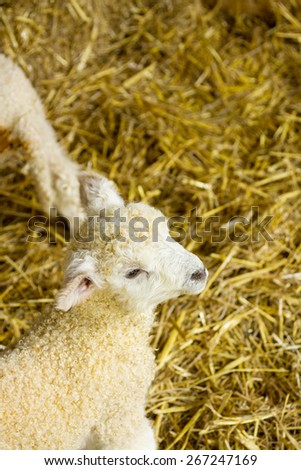 Cute newborn lambs, of the Lincolnshire Long Wool breed. - stock photo