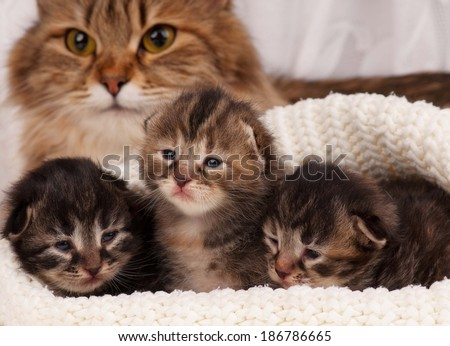 Cute newborn siberian kittens with their mother on the background - stock photo