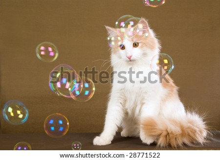 Cute Norwegian Forest Cat kitten watching soap bubbles float past