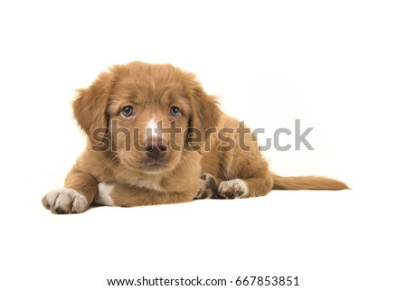 Cute nova scotia duck tolling retriever puppy lying on the floor leaning forward isolated on a white background