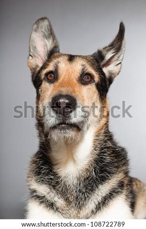 Cute old german shepherd dog. Studio shot isolated on grey background. - stock photo