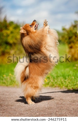cute old pomeranian dog playing in summer - stock photo