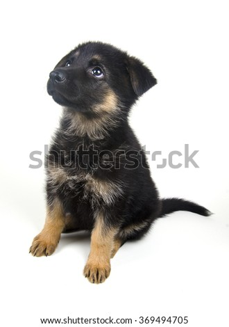 Cute one-month-old German shepherd puppy (isolated on white) - stock photo