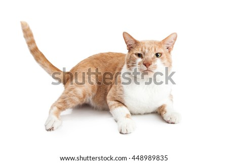 Cute orange and white cat with funny expression laying on white background