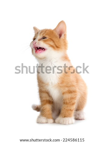 Cute Orange Kitten Meowing Isolated on White Background