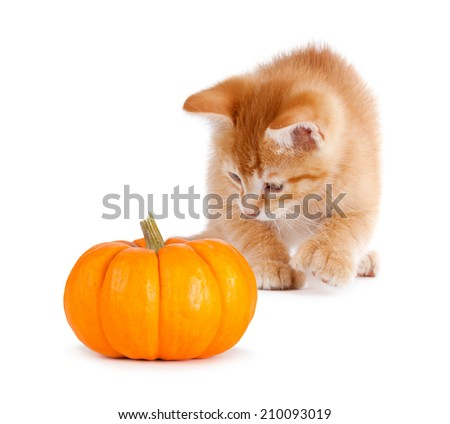 Cute orange kitten playing with a mini pumpkin isolated on a white background. - stock photo