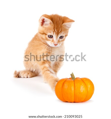 Cute orange kitten playing with a mini pumpkin isolated on a white background.
