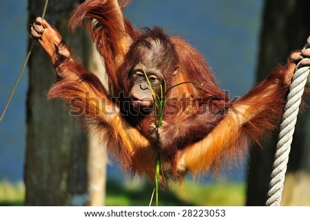 cute orangutan in a funny position - stock photo