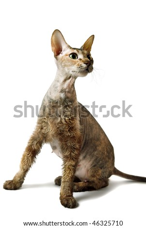 cute oriental cat isolated on white background - stock photo