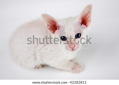 cute oriental kitten isolated on white background