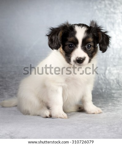 Cute Papillon puppy age of 1,5 month on a silvery background - stock photo