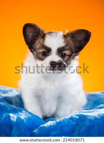 Cute Papillon puppy age of one and a half months on a orange background