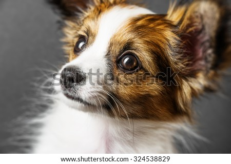 cute papillon puppy isolated over black