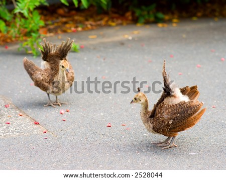 Cute Peacock Chicks Practicing Displaying with tiny tails cocked and spread - stock photo