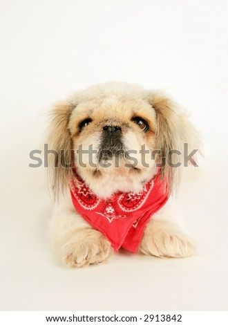 Cute Pekingese dog with red bandanna on isolated