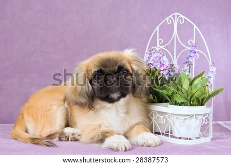 Cute Pekingese puppy on lilac background with potted flowers and white trellis pot plant holder