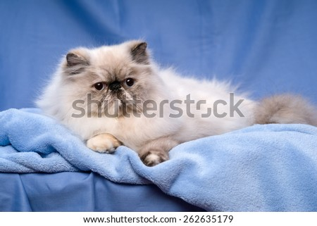 Cute persian blue tortie colorpoint cat is lying on a blue bedspread before blue background - stock photo