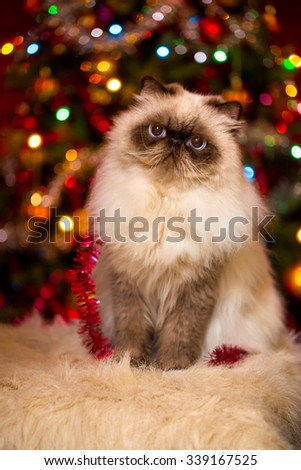 Cute persian colourpoint cat is sitting in front of a Christmas tree with colourful lights bokeh