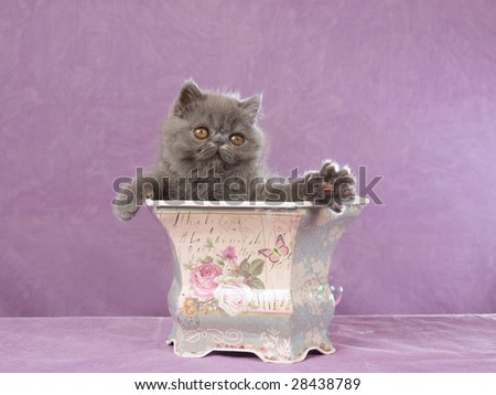 Cute Persian Exotic kitten catching soap bubbles - stock photo