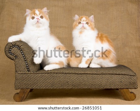 Cute Persian red and white kittens on miniature brown chaise couch sofa on hessian burlap background - stock photo