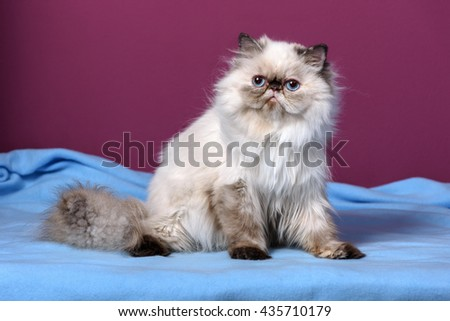 Cute persian seal tortie colorpoint kitten is sitting on a blue bedspread in front of a purple wall background - stock photo