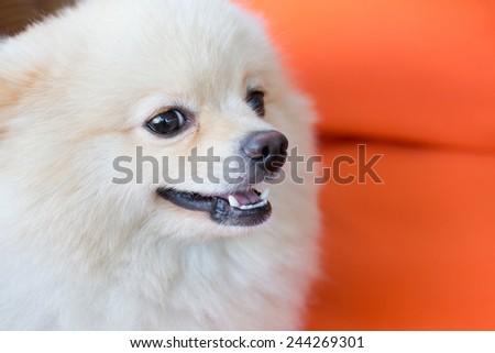 cute pet, closeup face white pomeranian dog - stock photo