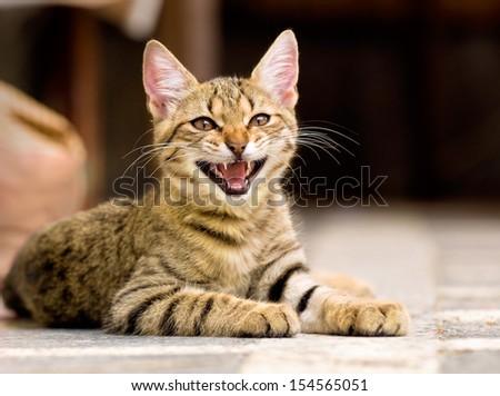 cute pet kitten yawning - stock photo