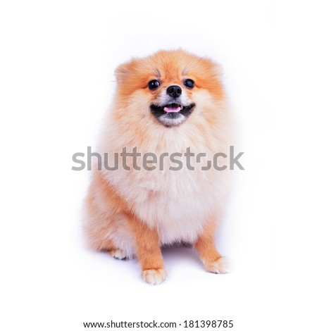 cute pet, pomeranian puppy dog isolated on white background - stock photo