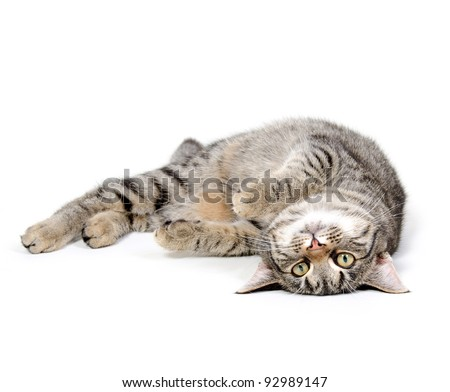 Cute pet tabby cat laying down on white background - stock photo