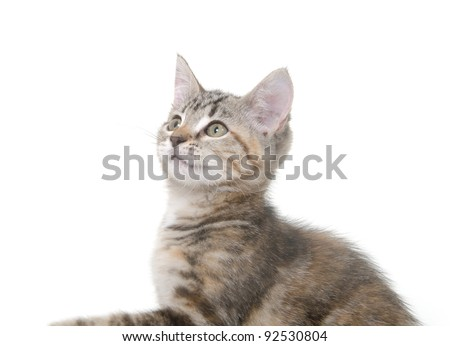 Cute pet tabby cat on white background