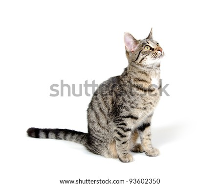 Cute pet tabby cat sitting on white background - stock photo