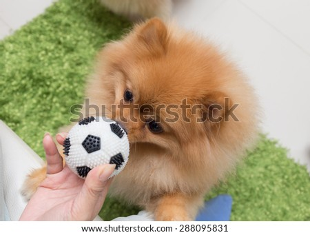 cute pets pomeranian dog happy playing ball in home - stock photo