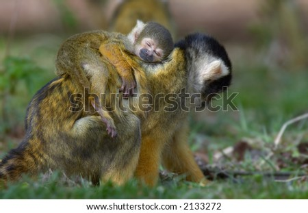 cute photo of a baby squirrel monkey asleep on mothers back - stock photo