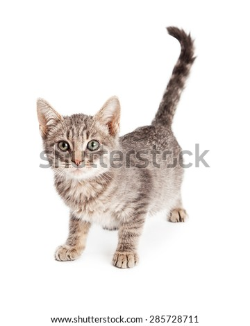 Cute photo of an adorable eight week old tabby kitty cat standing up and looking forward - stock photo