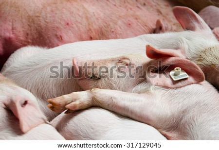 Cute piglet sleeping with other piglets beside mother after nursing - stock photo