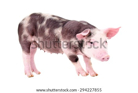 Cute piglet standing isolated on white background - stock photo