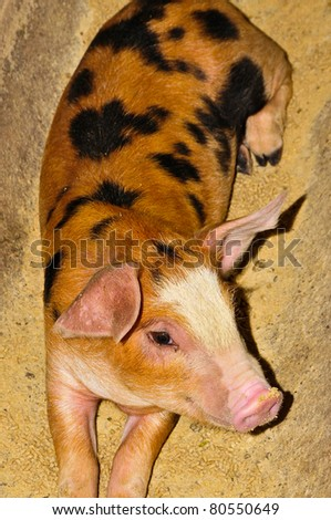 Cute piglet with dirty snout - stock photo