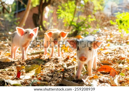 Cute piglets in the morning sun in Madagascar  - stock photo