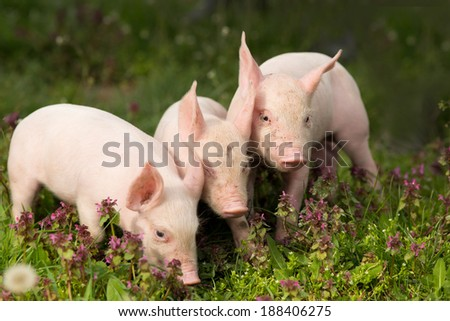 Cute piglets standing and nudging on grass - stock photo