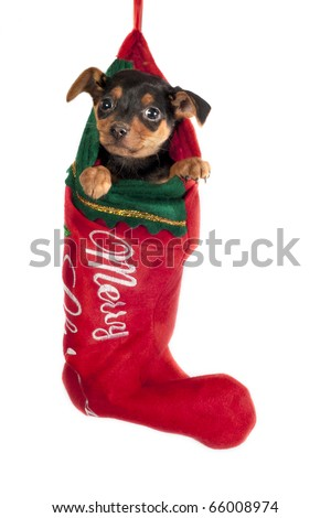 Cute Pincher puppy , hanging in a Christmas stocking. - stock photo