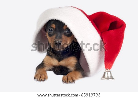 Cute Pincher puppy with Santa hat on a white background. - stock photo