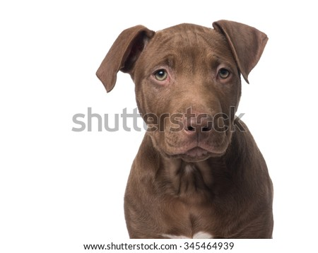 Cute pit bull puppy portrait facing the camera isolated on a white background