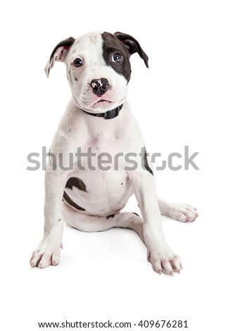 Cute Pit Bull Puppy sitting to side looking at camera. Isolated on white. - stock photo