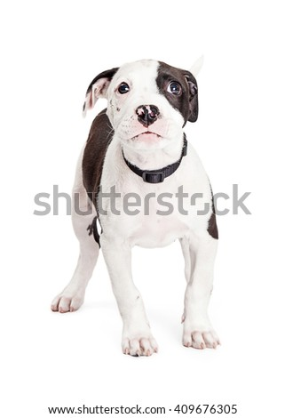 Cute Pit Bull Puppy with guilty expression and sad eyes - stock photo