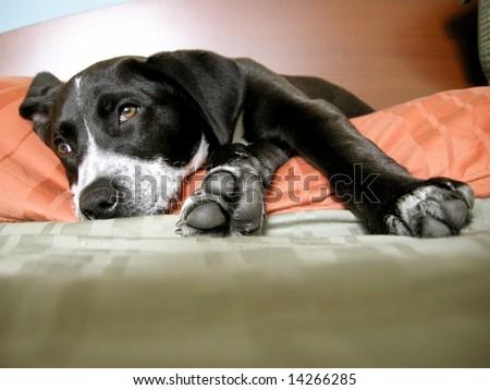 Cute pitbull pointer mix puppy lounging - stock photo