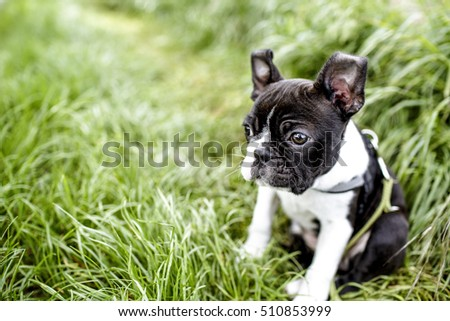 Cute Playful young Boston Terrier Puppy in the Grass in Summer