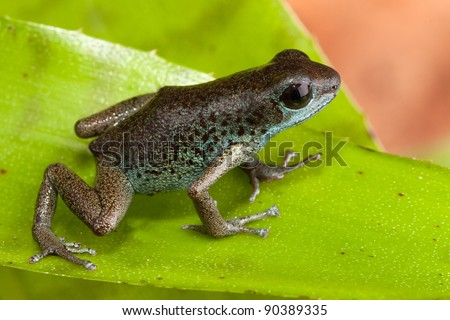 cute poison dart forg of jungle in Panama exotic tropical poisonous animal - stock photo
