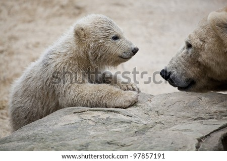 cute polar bear with mother - stock photo