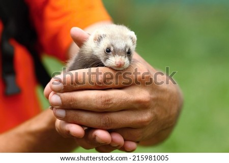 Cute polecat - stock photo