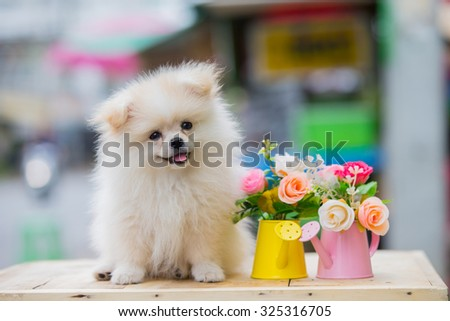 cute pomeranian dog - stock photo